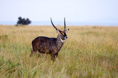 Gazelles, Nakuru Royalty Free Stock Photography