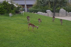 Gazelles. On natural park Zoom Turin Royalty Free Stock Image