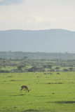 Gazelles op het gebied Royalty-vrije Stock Foto's