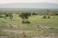 Gazelles op het gebied Stock Afbeelding