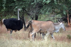 Gazelles and ostrich in Africa Stock Photography