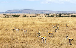 Gazelles on the prairies of Tanzania  Royalty Free Stock Images