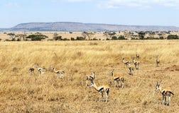 Gazelles on the prairies of Tanzania  Royalty Free Stock Images