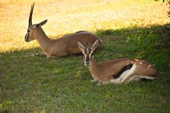 Gazelles resting in green prairie. Gazelles can reach speeds of 55 miles an hour at Bush Gardens royalty free stock image