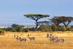 gazelles επιχορήγηση s Στοκ Φωτογραφίες