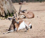 Gazelles on sand Royalty Free Stock Image