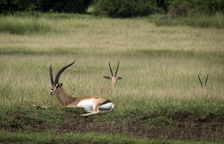 Gazelles in savanne Stock Foto's