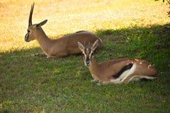 Gazelles se reposant dans la prairie verte Les gazelles peuvent atteindre des vitesses de 55 milles à l'heure aux jardins de Bush image libre de droits
