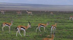 gazelles serengeti Thompson πεδιάδων Στοκ Φωτογραφία