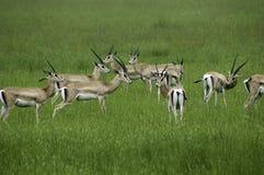 Gazelles Stock Image