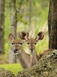gazelles thompson Стоковые Изображения RF