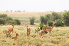 Gazelles in Tsavo East, Kenya Royalty Free Stock Photography
