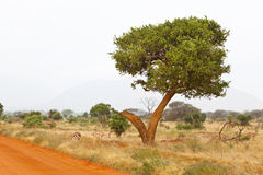 Gazelles in Tsavo East, Kenya Stock Photos