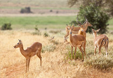 Gazelles in Tsavo East, Kenya Royalty Free Stock Photo