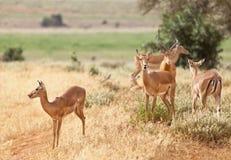 Gazelles in Tsavo East, Kenya Royalty Free Stock Photo