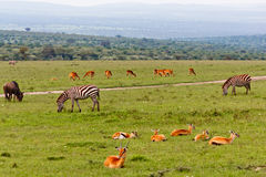 Gazelles and Zebras Royalty Free Stock Image