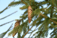 gałęziasty futerkowy drzewo Zdjęcie Royalty Free