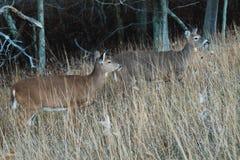 GaziDeer - Shenandoah Nstional Park Stock Image