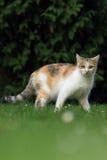 Gazing кот Стоковые Изображения