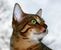 Gazing. Bengali special breed kittens face fixated on something, with a light colored sky background Stock Photos