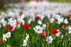White daffodils and red tulips stock photography