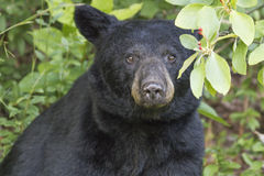Gazing Black Bear. A large Black Bear Ursus americanus gazing into the camera after feeding on berries Royalty Free Stock Photos