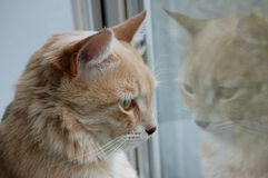 Gazing cat Royalty Free Stock Photography
