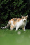 Gazing cat. The gazing tricolored cat in the grass Stock Images