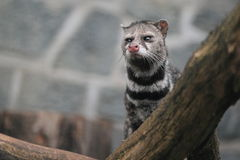 Gazing civet. The gazing civet behind the wood trunk stock photos