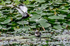 Gazing at the desire for a new life. After the pheasant tail jacana pairing, the male chooses the position of the nest, the female agrees to mate, and then the stock photography