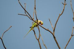 Alexandrine Parakeet Gazing from Branch. Gazing down from a bare tree branch sits a green and yellow parakeet with a big red beak, the Alexandrine parakeet, the stock photos