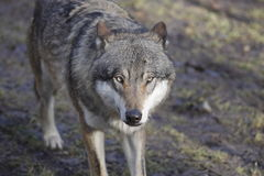 Gazing eurasian wolf Stock Photo