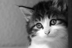Gazing kitten Stock Photography