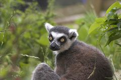 Gazing Lemur. This image of a gazing Ring-Tailed Lemur was captured at Dudley Zoo, England, UK Royalty Free Stock Photography