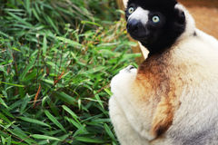 Gazing Lemur Stock Photo