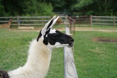 Gazing Llama Royalty Free Stock Photos