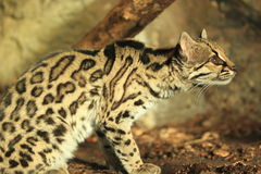 Gazing margay Stock Images
