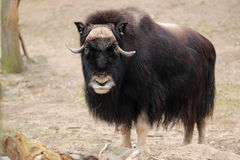 Gazing musk ox. The gazing musk ox adult royalty free stock image