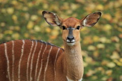 Gazing nyala Royalty Free Stock Images