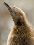 Gazing Oakum Boy. An Oakum Boy (King Penguin chick) gazing into the sky - South Georgia Stock Photography