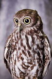 Gazing Owl. A beautiful brown and white owl Stock Photos