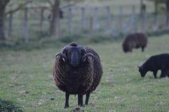 Gazing Sheep Stock Photography