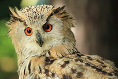 Gazing siberian eagle owl Stock Photos