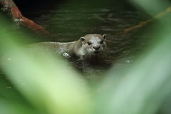 Gazing smooth-coated otter Stock Photography