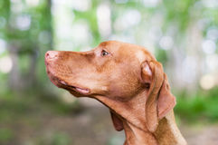 Gazing Vizsla Dog Royalty Free Stock Image