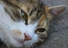 Gazing through you. A mischievous cat lying and resting on the ground, trying not to pay attention to what`s going on around her Royalty Free Stock Images