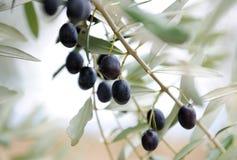 Gałązka oliwna Zdjęcie Stock