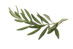 Gałązka oliwna i liście odizolowywający Fotografia Stock