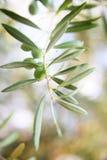 Gałązki oliwnej zakończenie Obrazy Royalty Free