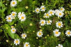 Gazonów kwiaty Fotografia Royalty Free